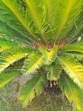 Cycas Revoluta Royaltyfria Foton