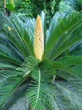 Cycas revoluta Stock Photos