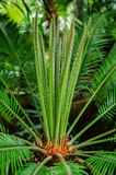 Cycas revoluta- fake sago palm. Fake Sago palm (Cycas revoluta) in a greenhouse Stock Photography