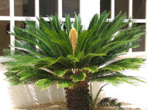 Cycas revoluta. Flowery flower cycas on the island of Majorca Royalty Free Stock Photos