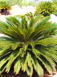 Cycas revoluta,King Sago Royalty Free Stock Photos