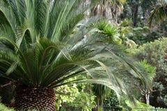 Cycas revoluta in the Monte Garden. Cycas revoluta in the Monte Palace Tropical Garden Madeira Stock Photo