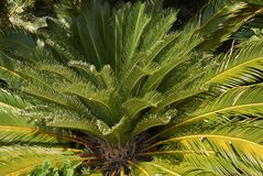 Free Cycas Revoluta Plant Royalty Free Stock Photos - 122737388