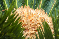 Cycas Revoluta plant Royalty Free Stock Photography