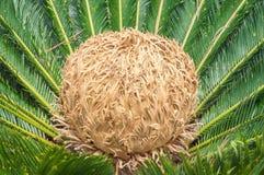 Cycas Revoluta plant Royalty Free Stock Photos