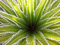 Cycas Revoluta Plant. Cycas Revoluta or Sago Palm with new leaves emerge all at once in a circular pattern Stock Images