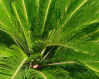 Cycas revoluta plant Royalty Free Stock Image