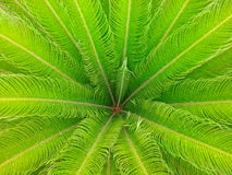 Cycas Revoluta roślina Fotografia Royalty Free