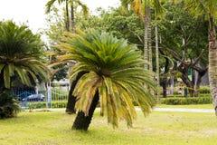 Free Cycas Revoluta (sago Cycad) Royalty Free Stock Images - 32996529