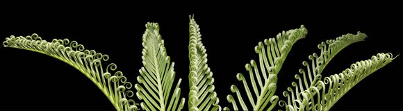 Cycas revoluta Sago Palm Composite Stock Images