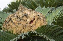 Cycas Revoluta-Samenkapsel Stockbilder