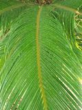 CYCAS REVOLUTA. THIS IS SYMMETRICAL PLANT SUPPORT A CROWN OF SHINY ,DARK GREEN LEAVES ON A THICK SHAGGY TRUNK THAT IS TYPICALLY ABOUT 20cm. IN DIAMETER SOME Royalty Free Stock Image