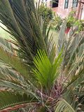 CYCAS REVOLUTA. THIS IS SYMMETRICAL PLANT SUPPORT A CROWN OF SHINY ,DARK GREEN LEAVES ON A THICK SHAGGY TRUNK THAT IS TYPICALLY ABOUT 20cm. IN DIAMETER SOME Stock Image