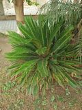 CYCAS REVOLUTA. THIS IS SYMMETRICAL PLANT SUPPORT A CROWN OF SHINY ,DARK GREEN LEAVES ON A THICK SHAGGY TRUNK THAT IS TYPICALLY ABOUT 20cm. IN DIAMETER SOME Stock Photos