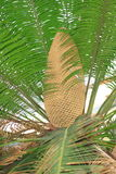 Cycas revoluta Thunb Royalty Free Stock Photo