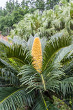 Cycas revoluta on tree, Sago palm. Royalty Free Stock Photos