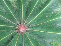 Cycas Revoluta, Tropical Green Plant royalty free stock photo