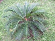 Cycas Revoluta, Tropikalna Zielona roślina, Perspektywiczny widok zdjęcie stock