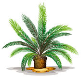 Cycas revolute Stock Images