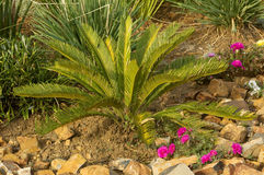 Cycas revulata in a flower bed Stock Photo