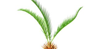 Cycas roots Stock Images