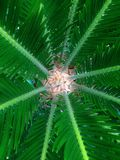 Cycas rumphii. The image of the  cycas rumphii  and its leaves Stock Images