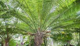 Cycas Scratchleyana. Canopy of a Cycas Scratchleyana tree Stock Photography