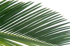 cycas szczegółów liści Zdjęcia Stock