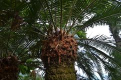 Taiwanese endemic Cycas taitungensis in Zhiben national forest recreation area stock photo