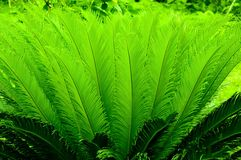 Cycas tree Stock Images