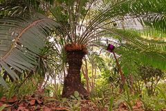 Cycas tree or Cycas palm a beautiful plant in natural forest Royalty Free Stock Photography