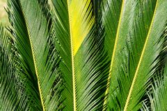 Cycas tree or japanese sago palm foliage. Close up photo of green feather like leaves stock photo