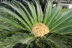 Cycas. Tropical tree with pinnate leaves in Israel Stock Image