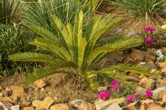 Cycasrevulata in een bloembed Stock Foto