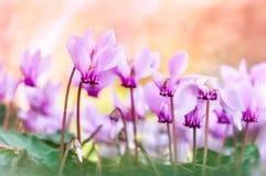Cyclaambloemen stock afbeeldingen