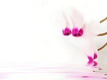 cyclam Стоковые Фото