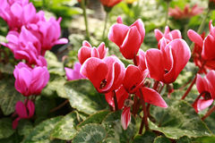 cyclamen桃红色红色 免版税库存图片