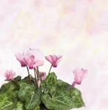 cyclamen粉红色 织地不很细概念性图象 免版税库存图片
