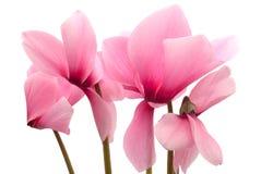 cyclamen粉红色 库存照片