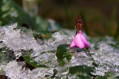 Cyclamen в зиме Стоковое Изображение RF