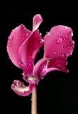 cyclamen дождь цветка падений Стоковые Изображения