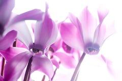 cyclamen пинк цветка Стоковое Изображение RF