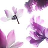 cyclamen пинк цветка Стоковое фото RF