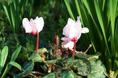 cyclamen пинк цветков Стоковые Фото