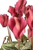cyclamen пурпур Стоковые Изображения