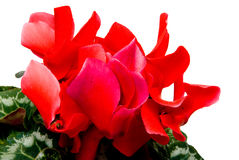 Cyclamen Royalty Free Stock Photos