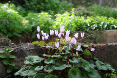 Cyclamen Royalty Free Stock Photography