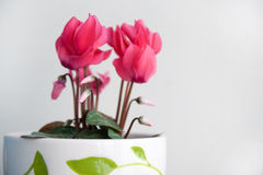 Cyclamen Stock Photography