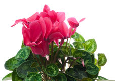 Cyclamen Photo libre de droits