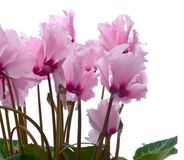 Cyclamen Photographie stock